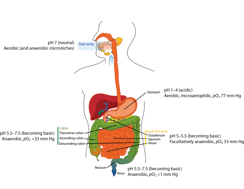 Gastrointestinal tract diagram